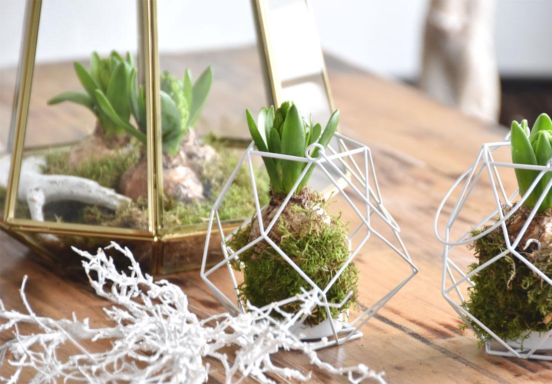 Winterblumen - Hyazinthen